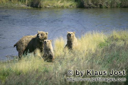Brown Bears/Ursus arctos horribilis        Danger for the She-bear and the two young bears        A