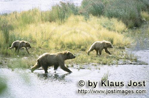 Brown Bears/Ursus arctos horribilis        Wandering brown bear at river        The Brown bear</b