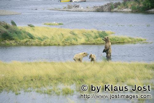 Brown Bears/Ursus arctos horribilis        Mother Brown Bear standing upright        The whole world