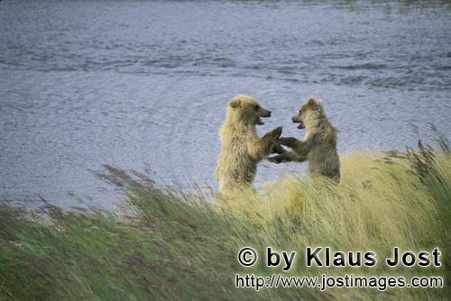 Brown Bears/Ursus arctos horribilis        Two young brown bears in playful fight        The two