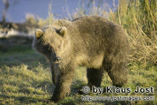 Braunbaer/Brown Bear/Ursus arctos horribilis        Well-fed Young Brown Bear        In the tall gra