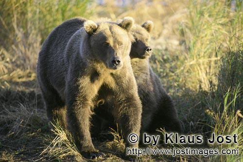 Brown Bears/Ursus arctos horribilis        Two brown bears in the morning sun        The two brow
