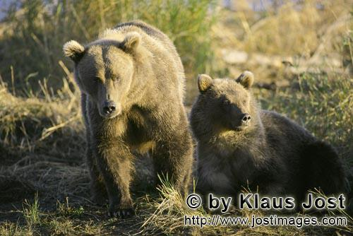 Brown Bears/Ursus arctos horribilis        A conspecific approaches the two brown bears        Just