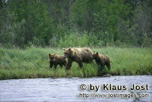 Brown Bears/Ursus arctos horribilis        Three brown bears walk along the river