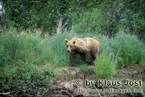 Brown Bear/Ursus arctos horribilis        Brown Bear in the grass on the bank        A single bro