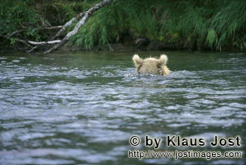 Brown Bear/Ursus arctos horribilis        Brown Bear assessed the situation underwater        The <b
