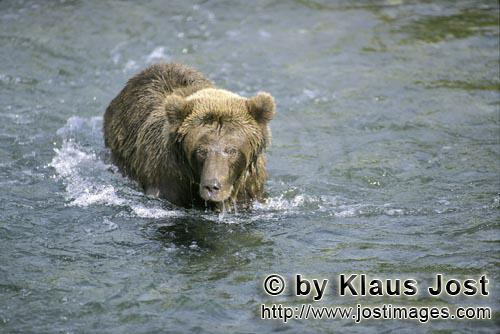 Brown Bear/Ursus arctos horribilis        Brown bear sees a fish in shallow water        The water is re