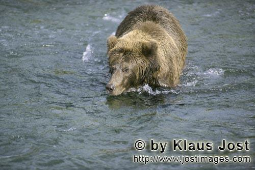 Brown Bear/Ursus arctos horribilis        Laboriously a brown bear looking for salmon
