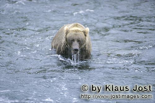 Brown Bear/Ursus arctos horribilis        Brown bear after unsuccessful diving