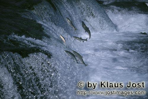 Sockey salmon/Corhynchus nerka        Salmon on obstacle waterfall