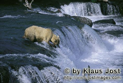 Brown Bear/Ursus arctos horribilis        Highly concentrated brown bear at waterfall        The