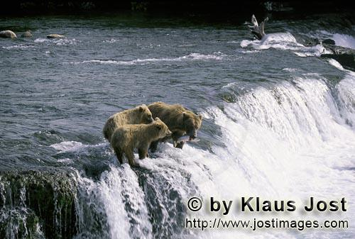 Brown Bears/Ursus arctos horribilis        Delicious food place on the Brooks River falls        The