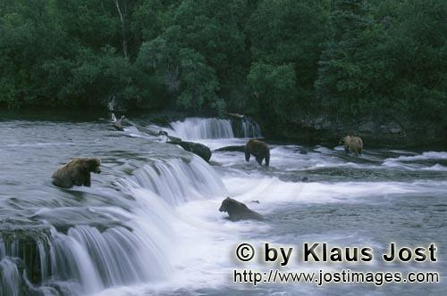Brown Bears/Ursus arctos horribilis        Brown Bears on the hunt for salmon         The waterfall