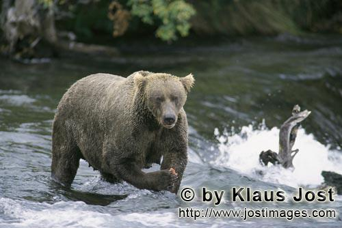 Brown Bear/Ursus arctos horribilis        Brown Bear
