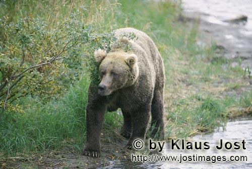 Brown Bear/Ursus arctos horribilis        Brown Bear at a bend in the river        The large brow