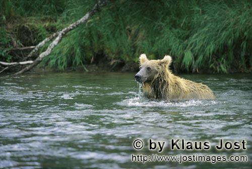 Brown Bear/Ursus arctos horribilis        Brown bear is dipped for a salmon        At this point of