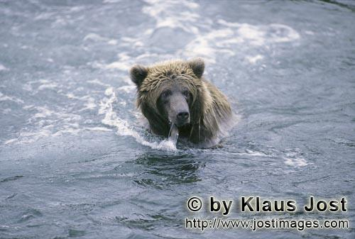 Brown Bear/Ursus arctos horribilis        Brown bear in the river        It is late autumn and the s