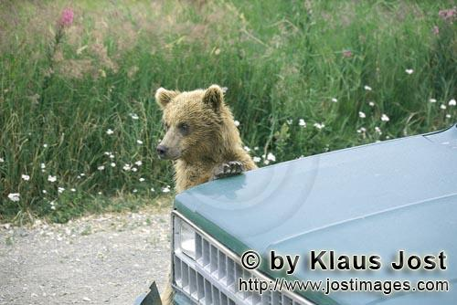 Brown Bear/Ursus arctos horribilis        Brown Bear cub is supported on the car