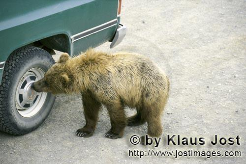 Brown Bear/Ursus arctos horribilis        Brown Bear cub examines Hubcap