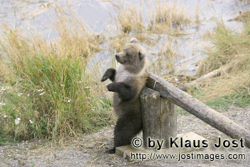 Brown Bear/Ursus arctos horribilis        Little brown bear at a barrier        At the beginning of