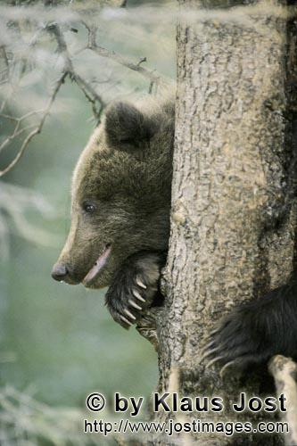 Brown Bear/Ursus arctos horribilis        Little Brown Bear in security on the tree        While