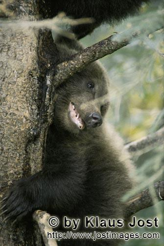 Brown Bear/Ursus arctos horribilis        Scared looking little brown bear from a tree        While