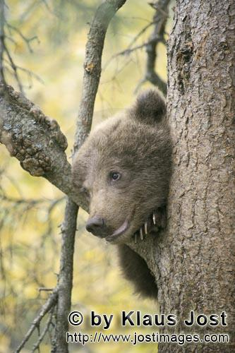 Brown Bear/Ursus arctos horribilis        Little Brown Bear assesses the situation from the tree