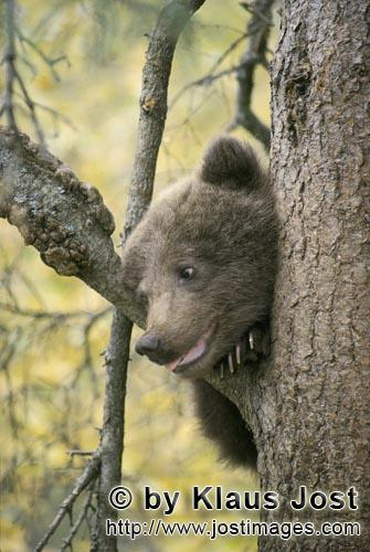 Brown Bear/Ursus arctos horribilis        The little brown bear looking curiously from the tree