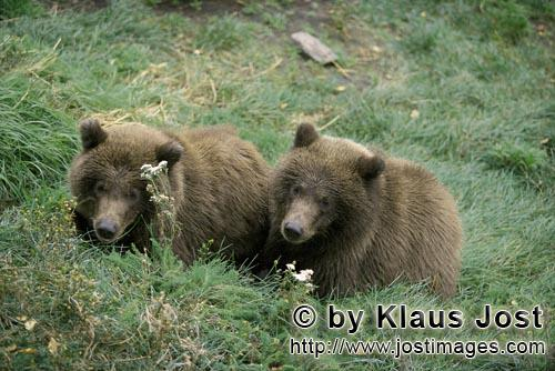 Brown Bears/Ursus arctos horribilis        Two young brown bears at rest        The two little br