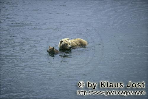 Brown Bears/Ursus arctos horribilis        She-bear with spring cub in the river