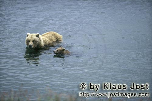 Brown Bears/Ursus arctos horribilis        Sow with her spring cub in the river
