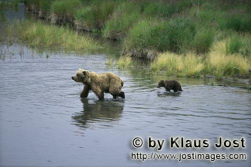 Brown Bears/Ursus arctos horribilis        Mother brown bear and Spring Cup in the river