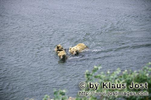 Brown Bears/Ursus arctos horribilis        Three floating brown bears
