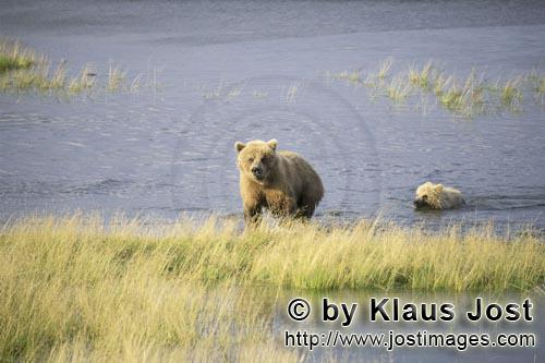 Brown Bears/Ursus arctos horribilis        Sow with her cub going ashore