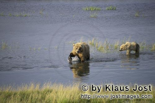 Braunbaeren/Brown Bears/Ursus arctos horribilis        Sow with her cub fishing for salmon