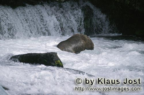 Brown Bear/Ursus arctos horribilis        Diving brown bear at the waterfall        The Brown Bear (