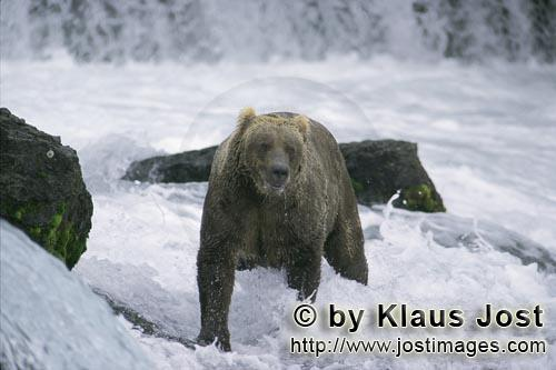 Brown Bear/Ursus arctos horribilis        Brown bear looking for salmon in strong currents        Th