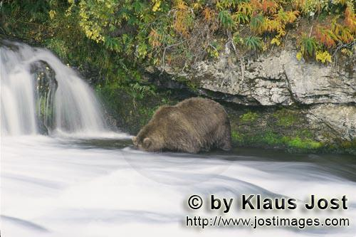 Brown Bear/Ursus arctos horribilis        Brown bear looking for salmon at the waterfall        It's