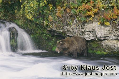 Brown Bear/Ursus arctos horribilis        Hungry brown bear looking for salmon at the waterfall
