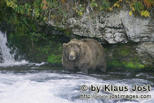 Brown Bear/Ursus arctos horribilis        Brown bear looking for salmon below the Brooks waterfall</