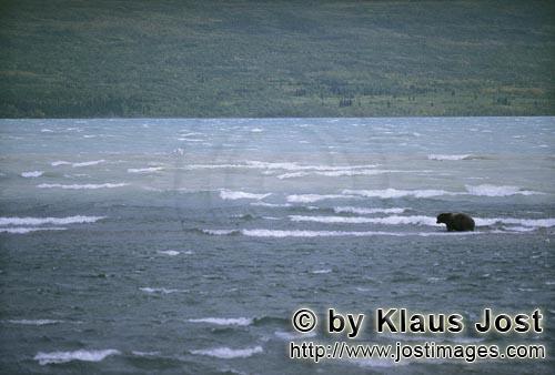 Brown Bear/Ursus arctos horribilis        Brown Bear in a storm in the lake        During storms wit