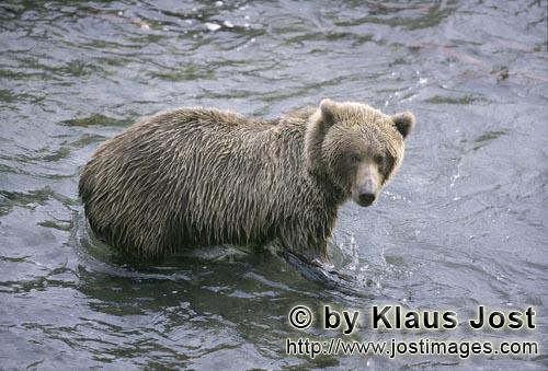 Brown Bear/Ursus arctos horribilis        Brown bear hunting for salmon in Brooks River