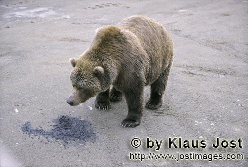 Brown Bear/Ursus arctos horribilis        Brown bear wants to know what this is