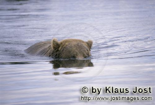 Braunbaer/Brown Bear/Ursus arctos horribilis        Brown Bear