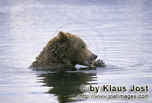 Brown Bear/Ursus arctos horribilis        Brown bear with salmon in the River Center        The b