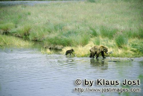 Brown Bear/Ursus arctos horribilis        Sow with her spring cub on the river bank        The Br