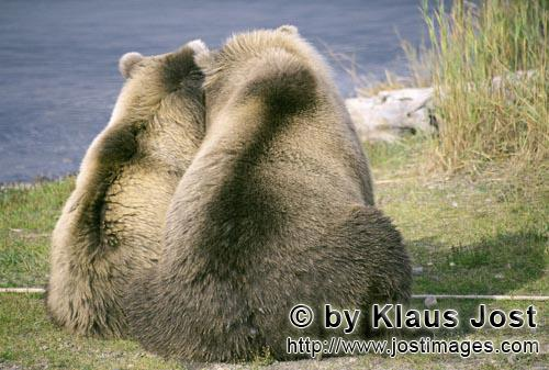 Brown Bear/Ursus arctos horribilis        Back view of two brown bears        Mother Brown Bear a
