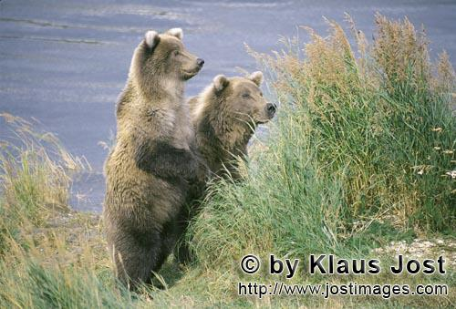 Brown Bear/Ursus arctos horribilis        Something attracts the attention of two brown bears