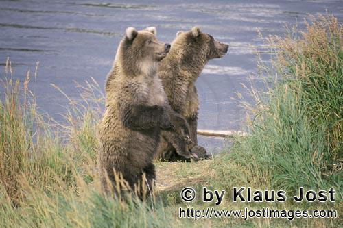 Brown Bear/Ursus arctos horribilis            Two erected Brown Bears at the river bank
