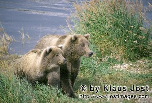 Brown Bear/Ursus arctos horribilis        Two highly concentrated brown bears        Mother brown